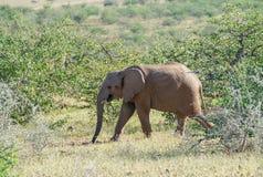 Deserted adaptou o elefante no arbusto fotos de stock royalty free