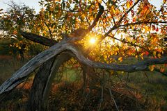 Deserted fruity orchard. Abandoned fruity orchard during sunset in October stock photo