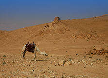 Deserted landscape with a camel. (Syrian desert Royalty Free Stock Photos