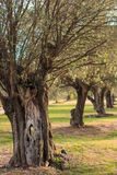 Deserted olive grove in sunset Royalty Free Stock Photos