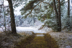 Deserted path through a snowy forest. Leading towards a snow covered winter field and pine plantations with snow-clad trees Royalty Free Stock Photography