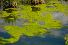 Deserted Pond. Fragment of deserted pond with duckweed Stock Photos