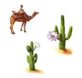 Desertera beduinen på kamlet, saguarokaktuns med blommor, Opuntiakaktuns, naturlig livsmiljö Arkivbild