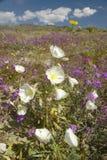 Desertera liljor och vita blommor som blomstrar med vita pösiga moln i Anza-Borrego ökendelstatspark, nära Anza Borrego Springs,  Royaltyfri Fotografi