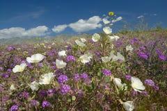 Desertera liljor och vita blommor som blomstrar med vita pösiga moln i Anza-Borrego ökendelstatspark, nära Anza Borrego Springs,  Royaltyfria Foton