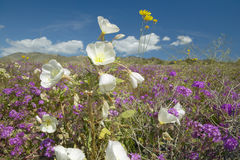 Desertera liljor och vita blommor som blomstrar med vita pösiga moln i Anza-Borrego ökendelstatspark, nära Anza Borrego Springs,  Arkivfoto