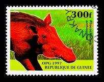 Desertera vårtsvinet (Phacochoerusaethiopicusen), infödd djurserie, Arkivfoto