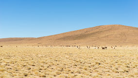 Desertic highlands on the Andes with llamas, Bolivia Royalty Free Stock Photography