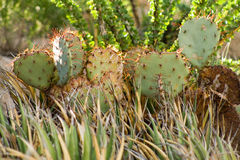 Deserto Cactus-2 da chihuahua Fotografia de Stock
