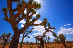 Deserto California del Mohave della valle di Joshua Tree National Park Yucca Fotografie Stock Libere da Diritti