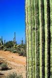 Deserto com cactos Imagens de Stock Royalty Free