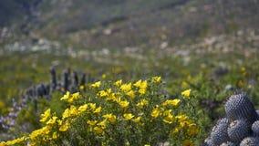 15-08-2017 deserto de Atacama, o Chile Deserto de florescência 2017 Fotografia de Stock