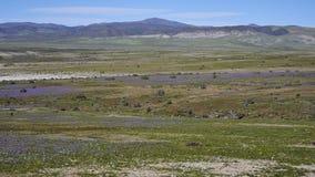 15-08-2017 deserto de Atacama, o Chile Deserto de florescência 2017 Fotografia de Stock Royalty Free