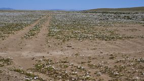 15-08-2017 deserto de Atacama, o Chile Deserto de florescência 2017 Fotos de Stock Royalty Free