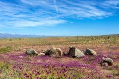 Deserto de florescência no Atacama chileno imagens de stock royalty free
