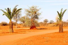 Deserto de Kalahari vermelho dos oásis das palmeiras, Namíbia Foto de Stock