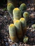 Deserto del cactus Immagini Stock Libere da Diritti