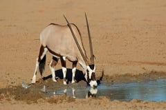 Deserto del Kalahari acqua bevente dell'antilope del Gemsbok fotografia stock