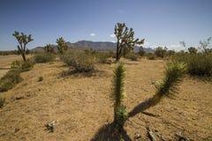 Deserto del Mojave Immagini Stock