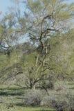 Deserto dell'Arizona dell'albero Immagini Stock