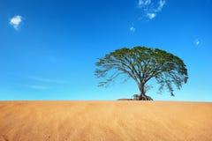 Deserto della sabbia con il grande albero in cielo blu Fotografie Stock