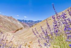 Deserto della valle della montagna del canyon del fiore della lavanda della salvia porpora fotografia stock