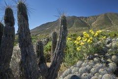 15-08-2017 deserto di Atacama, Cile Deserto di fioritura 2017 Immagine Stock Libera da Diritti