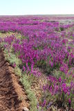 Deserto di fioritura del ` s dell'Australia ad agosto Fotografie Stock Libere da Diritti