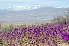 Deserto di fioritura nell'Atacama cileno fotografia stock