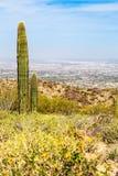 Deserto di Phoenix Arizona con il cactus ed il paesaggio urbano del saguaro Fotografia Stock Libera da Diritti