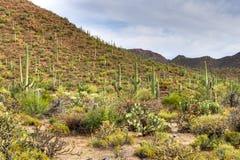 Deserto di Sonoran Immagini Stock