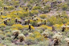 Deserto di Sonoran nella primavera Fotografie Stock Libere da Diritti