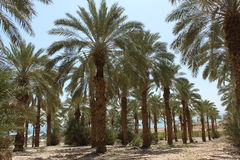Deserto do Negev das palmeiras em Israel Imagem de Stock Royalty Free