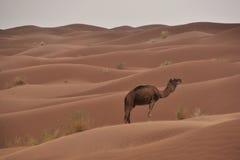 Deserto dromedar Immagini Stock