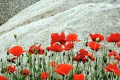 Deserto e fiori 4 Fotografie Stock Libere da Diritti