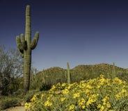Deserto in fioritura Fotografie Stock