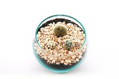 Deserto Gem Cactus, cacto do Ladyfinger, cacto de tambor dourado Imagens de Stock