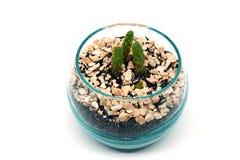 Deserto Gem Cactus, rufida dell'opunzia Fotografia Stock Libera da Diritti