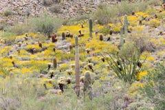 Deserto Hillside di Sonoran in fioritura Fotografia Stock Libera da Diritti