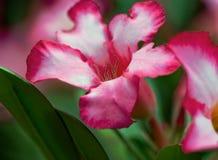 Deserto Rosa Fotografie Stock Libere da Diritti