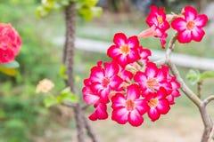 Deserto Rosa Imagens de Stock Royalty Free