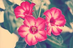 Deserto Rosa Immagine Stock