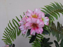 Deserto Rosa Fotografia de Stock Royalty Free