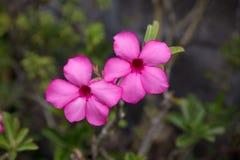 Deserto Rosa Fotografia de Stock