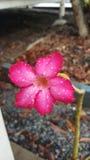 Deserto Rosa Fotos de Stock