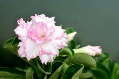 Deserto Rosa Fotografie Stock