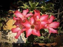 Deserto Rosa Imagem de Stock