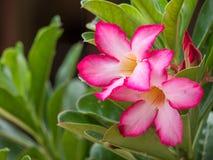Deserto Rosa cor-de-rosa, flor trocista da azálea Imagens de Stock Royalty Free