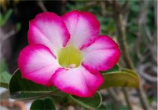 Deserto Rosa cor-de-rosa, lírio de impala, Bignonia cor-de-rosa, azálea trocista fotos de stock