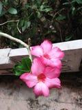 Deserto Rosa de Obesum do Adenium/orgulho de Japão fotos de stock